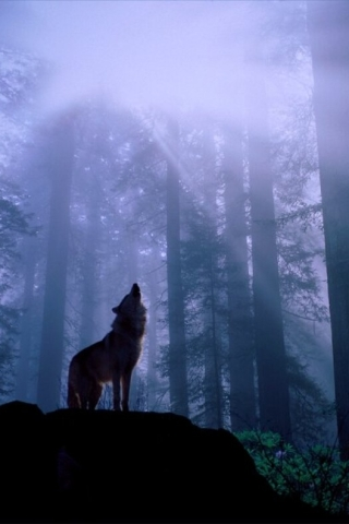 wallpaper wolf. Night of the Howling Wolf